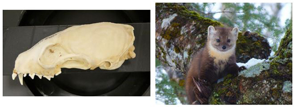 pine marten skull (left) and individual in the wild (right)